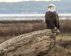 The Perch (T0nyJ0yce) Tags: wild baldeagle raptor haliaeetusleucocephalus birds pnw westcoast wildlife eagle birdsofprey