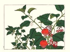 Husk-tomato and Japanese-lantern (Japanese Flower and Bird Art) Tags: flower husktomato physalis pubescens solanaceae japaneselantern alkekengi hoitsu sakai kiitsu suzuki kimei nakano nihonga woodblock picture book japan japanese art readercollection