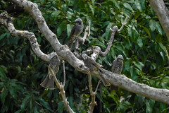 4bulbul (jinkemoole) Tags: animal bird bulbul