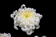 "Chrysanthemum called ""Blushing Bride"" at Hamilton's 96th annual Fall Mum Show in the Gage Park Greenhouses (Joseph Hollick) Tags: hamilton chrysanthemum mum mumshow gagepark white whiteflower flower blackbackground"