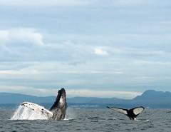 2016-09-27_11-02-00 (halland71) Tags: wet whale jump dive iceland keflavik reykjavik sweden expedition moment capture light sea