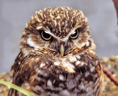 Burrowing Owl (AngelVibePhotography) Tags: brown owls raptor burrowingowl bird animal owl macro depthoffield photography nikon birds nationalaviary closeup nature pittsburgh nikonp900 colorful