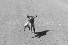 #curro #2014 #desembocaduradelguadalhorce #málaga #andalucía #españa #spain #costadelsol #correr #run #sombra #shadow #enelaire #standintheair #intheair #perro #dog #cocker #cockerspaniel #animal #miprincipe #love #naturaleza #nature #senderismo #trecki (Manuela Aguadero) Tags: desembocaduradelguadalhorce españa paisaje landscape run senderismo photography spain cocker love blackandwhite miprincipe sonya350 nature enelaire sonyalpha trecking shadow photographer curro naturaleza animal sonyalpha350 intheair blancoynegro 2014 perro cockerspaniel correr standintheair sombra andalucía dog málaga alpha350 costadelsol