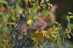 juvenile cardinal (i.snaps) Tags: bird birds cardinal molting fall autumn mudlake