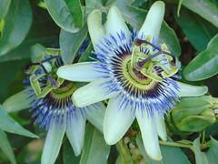 DSC00570 (ivodecarlis) Tags: passiflora caerulea flor flower sony dsch 300 sonydsch300