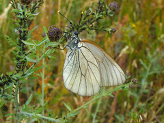 Black-veined white (Aporia crataegi) (Sasho Popov) Tags: blackveinedwhite nature