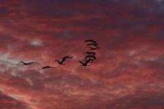 Sunset with the Cranes (Wild Bill in MN) Tags: gruscanadensis sandhillcranes orange sunset birdsinflight silhouette birdsilhouette sony a77m2 sal70400g