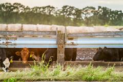 IMG_4553-HDR.jpg (MinnesotaDavis) Tags: sunset hay cattle midwest feed mitchelldavis rays davisphotography cows haybales god sunlight outdoors farm farmstead bales lightrays field