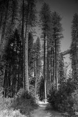 yosemite  sequoia - california - usa - 06 (hors-saison) Tags: yosemite national park valley sequoia