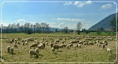 DSC_0430_Fotor (luipar) Tags: aperto gregge pecore airuno