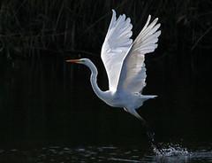 Grote zilverreiger in het Diemerpark (diemerparkijburg) Tags: ardea alba great egret grote zilverreiger diemerpark