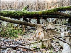 20161112-081 (sulamith.sallmann) Tags: landschaft natur pflanzen ast baumstamm landscape nature plants äste brandenburg deutschland deu sulamithsallmann