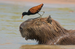 He's Gonna Step On You Again (Tim Melling) Tags: capybara wattled jacana brazil pantanal timmelling