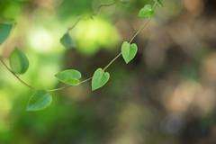 緑 (23fumi) Tags: ilce7m2 sony cosina nokton voigtlander voigtländernokton58mmf14slⅱ 58mm leaf leaves vine bokeh dof depthoffield green plant ソニー ノクトン フォクトレンダー 植物 蔓 葉 緑