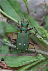 (Morton1905) Tags: cicindela campestris pontica fischer von waldheim 1825 macro poljska hitra 5317 ipernity 2014 s 2233 cicindela12 tiger beetle