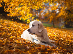 The Dog Days of Autumn (RobertCross1 (off and on)) Tags: 45mmf18mzuiko bailey em5 englishcream europe goldenretriever norge norway omd olympus oslo scandinavia sthanshaugen autumn bestfriend dog fall golden landscape leaves mansbestfriend park pet portrait trees