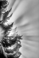 Fog, Fir and Sunlight (llabe) Tags: blackandwhite monotone lightbeams lightrays sunlight douglasfir firtree tree fog steilacoom washington nikon d750