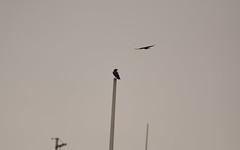 Common Raven (Corvus corax) & Northwestern Crow (Corvus caurinus) (ekroc101) Tags: birds commonraven corvuscorax northwesterncrow corvuscaurinus bc vancouver coalharbour
