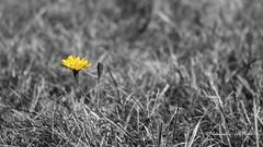 Lwenzahn (Jrg Plesch) Tags: lwenzahn gelb schwarzweiss jrgplesch canon