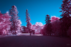 100 Degrees (color) (jrseikaly) Tags: montral qubec canada ca montreal quebec tree trees slant degree angle pink color infrared ir landscape nature outdoor jack seikaly jrseikaly photography canon 7d