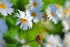 Buzz (Ben Bishop.) Tags: bee macro flower plant plants flowers floral f18 nikkor nikon d90 nikond90 melbourne benfrommelbourne aperture