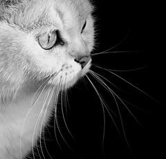 Yanis close-up (KerKaya) Tags: cat sweet cute beauty beautiful noiretblanc bw nb blackandwhite monochrome eyes kerkaya kitty look looking pet face portrait panasonic light lumix leica closeup
