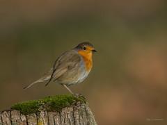 Robin (wernerlohmanns) Tags: singvgel vgel wildlife outdoor deutschland d7200 sigma150600c schn nabu natur