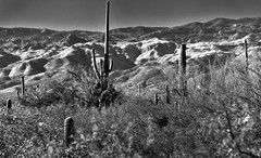 I Only Went Out for a Walk... (Black & White, Saguaro National Park) (thor_mark ) Tags: nikond800e saguaronationalpark saguaronationalparkrinconmountaindistricteast lookingnorth day1 capturenx2edited colorefexpro silverefexpro2 blackwhite desert desertlandscape sonorandesert saguaro cactus carnegieagigantea saguarocactus outside landscape nature sunny blueskies cactusacrossdesertlandscape mountains mountainsindistance mountainsoffindistance desertplantlife intermountainwest southwestbasinsandranges southeastarizonaranges huachucaarea santacatalinamountains blackettsridge cactusforestscenicloopdrive cactusforestdrive micaviewtrail arborescenttreelikecactus project365 portfolio canvas arizona unitedstates