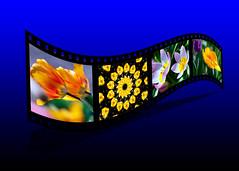 Tulips film strip (hz536n/George Thomas) Tags: 2016 canon5d tulip tulipa spring cs5 copyright filmstrip composite yellow blue twist flower flora