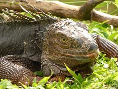 Iguana iguana (Luis G. Restrepo) Tags: p2200940 iguana greeniguana iguanaiguana reptil reptile lizard támesis antioquia colombia southamerica