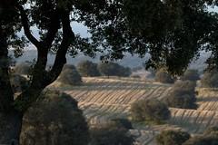 Dehesa de encinas (ramosblancor) Tags: naturaleza nature paisaje landscape dehesa bosquemediterráneo mediterraneanforest encina holmoak quercusilex cereal field otoño autumn fall madrid