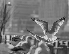 """Color of Autumn 2016 In NYC"" (Flight of a Seagull in Monochrome) (nrhodesphotos(the_eye_of_the_moment)) Tags: dsc0688272 theeyeofthemoment21gmailcom wwwflickrcomphotostheeyeofthemoment colorofautumn2016innyc animal autumn season monochrome blackandwhite birds nature bokeh flying soaring seagulls erns rooseveltisland motion wings manhattan waterfront outdoor wingspan depthoffield"