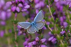 Male Silver-studded Blue (Roy Lowry) Tags: preesheath silverstuddedblue plebejusargus butterfly
