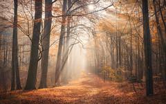 Bathed with light (Stefan Sellmer) Tags: sunshine autumn dream wow landscape herbst nature germany mood gold wald sunbeams leaves november tree outdoor kiel woods schleswigholstein deutschland de