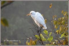 6575 - egret (chandrasekaran a 38 lakhs views Thanks to all) Tags: egret birds tadoba maharashtra chandrapur tatr tigerreserve jeep safari tiger forest india travel canon powershotsx60hs