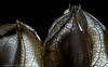 Heartbeats (krihama) Tags: lampionblume nicandraphysaloides flickrexplored backlit natur macromondays mysterious