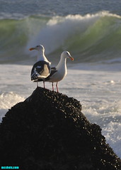 Bookends (mcshots) Tags: usa california socal losangelescounty coast beach birds seabirds animals gulls seagulls rocks jetty ocean sea water breakers combers surf nature autumn stock mcshots