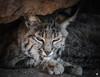 Sleepy Bobcat (ELAINE'S PHOTOGRAPHS) Tags: cats felines bigcats nature animals wildlife bobcats