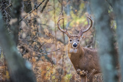 The King and his Crown (PhillymanPete) Tags: tenpointer male buck wildlife kingofthecove whitetaildeer rack rut whitetail nature deer antlers animal palmyra newjersey unitedstates us nikon d7200