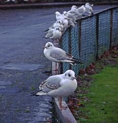 Killie Birds (Bricheno) Tags: kilmarnock park kaypark birds blackheadedgulls bricheno scotland escocia schottland cosse scozia esccia szkocja scoia    gulls