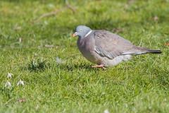 Paloma Torcaz (ik_kil) Tags: palomatorcaz commonwoodpigeon columbapalumbus hydepark london londres birdsofengland birds pigeon woodpigeon uk