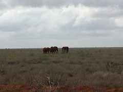 Elephant family #tsavonationalpark