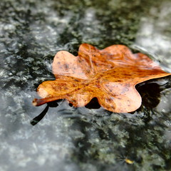wet (vertblu) Tags: wet oakleaf fallenleaf faded fadedcolours granite minimal minimalism minimalismus kwadrat 500x500 bsquare vertblu autumn autumncolouring autumncolours fall reflection reflections reflectedlight reflectedskies edge patterns pattern patterned leafpatterns patterning brown grey black abstractfeel orange yellow