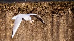 mouette 412 (Yasmine Hens) Tags: 7dwf 7dayswithflickr faune fauna mouette seagull hensyasmine namur belgium wallonie europa aaa بلجيكا belgique bélgica ベルギー белгия բելգիա belgio 벨기에 belgia бельгия 比利时 bel be