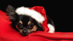 Santa's Charmer (Ruth S Hart) Tags: chihuahua pedigree purebred rescue christmas black red nikond700 nikon50mm14 portrait dog essexuk ©ruthshart