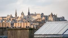 Edinburgh roofscape (Daveybot) Tags: pigeon edinburgh pigeons roof roofs roofscape city skyline