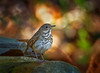 She's a Lady (Kathy Macpherson Baca) Tags: explore animal animals bird birds aves ave fly thrush hermit wildlife feathers autumn fall leaves season wings sing beautiful bokeh migrate planet earth wolrd nature