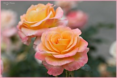 soft as butter! (MEA Images) Tags: roses gardens rosegarden blooms flowers nature parks pointdefiancepark tacoma washington canon picmonkey