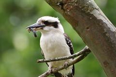Kookaburra (blachswan) Tags: lakewendouree ballarat victoria australia kookaburra laughingkookaburra grub catepillar