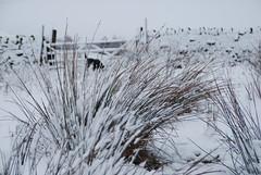 Les quatre saisons dans le Yorkshire (3) (dominiquita52) Tags: yorkshire countryside campagne snow winter hiver